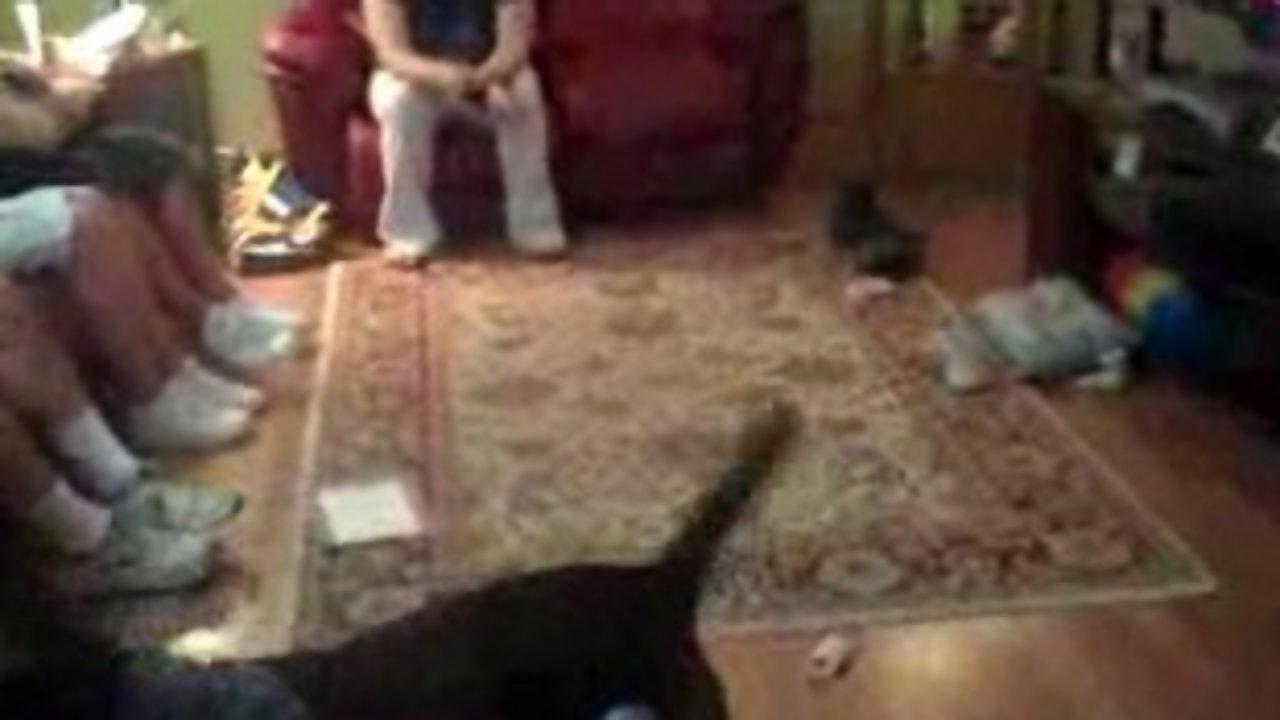 German Shorthair Pointer vs Pitbull Mix (cute) @ Funny Animal Videos