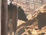 Cows doing funny things