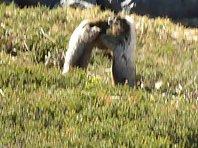 Boxing Marmots
