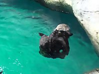 Sea otter cleans itself