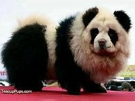 Dogs That Look Like Pandas