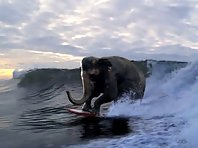 Surfing Elephant