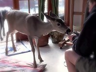 Deer eating banana