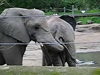 Elephant Eats Poop