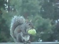 Squirrel eats an apple