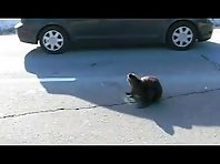 Beaver on the Highway