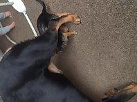 Big female rot and little boy chihuahua
