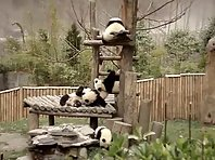 Panda doing Yoga