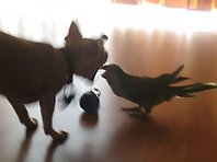 Chihuahua and Parrot fighting over a dog treat.