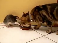 Rat steals the bowl of milk from a cat