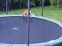 Foxes on trampolines