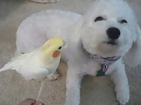 Parrot singing to a dog