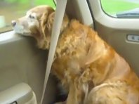dog putting on her own seatbelt