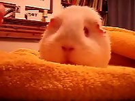 Funny faced guinea pig