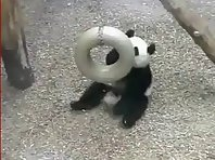 Panda and a silver ring