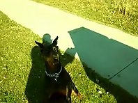 Doberman gets taught