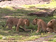 The 3 Lion Cubs