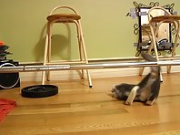 Rambo The Cat - Pumping Iron