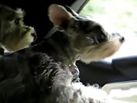 Super Schnauzers to the Rescue