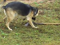 funny dog playing with shovel