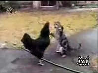 Cat fights a Chicken