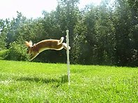 Adele the Agility Rabbit