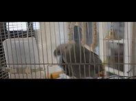 Sneezing Parrot