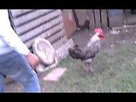 killer chicken