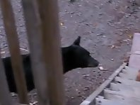 This Badass Guard Cat Doesn't Back Down From Bear