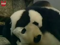Twin baby pandas
