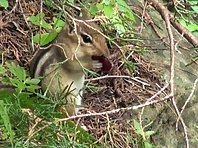 Funny Chipmunk eating food
