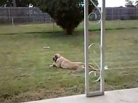 mastiff puppy doing the army crawl.