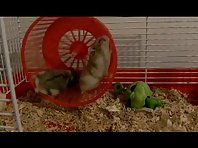 HAMSTERS- (teach me how to run!!l)