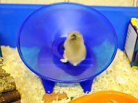 Hamster trying to get off the wheel