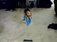 Chihuahua in socks