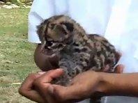 Baby Jaguar in Guatemala