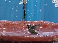 Hummingbird Shower in Slo-mo