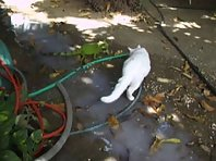 iguana attak