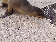 Sea lion gets tired